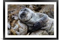 Baby Seal, Framed Mounted Print
