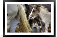 Foal at the Appleby Fair, Framed Mounted Print