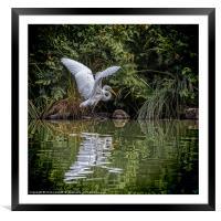 Egret Hunting, Framed Mounted Print