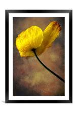 Rock Rose, Framed Mounted Print