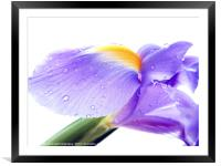 Iris 2, Framed Mounted Print
