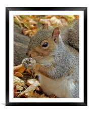 Grey squirrel., Framed Mounted Print
