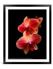 Pink  Orchids on black background, Framed Mounted Print