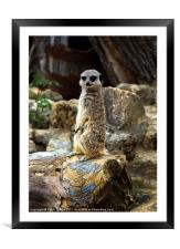 Meerkat - The Poser Canvases & Prints, Framed Mounted Print