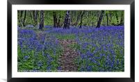 The Bluebells of Kings Wood, Framed Mounted Print