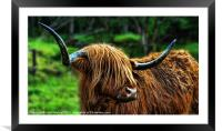 The Highland Coo, Framed Mounted Print