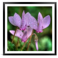 Pink Cyclamen, Framed Mounted Print