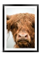 Highland Cow, Bad Hair Day, Framed Mounted Print