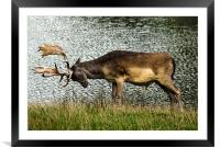 Stag Ready To Rumble, Framed Mounted Print
