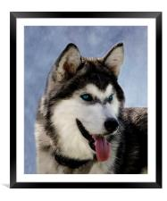 Siberian Husky, Framed Mounted Print