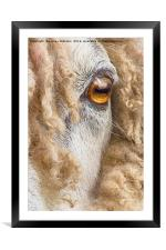 Leicester Longwool Sheep 2, Framed Mounted Print