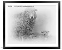 Lamb and Mother , Framed Mounted Print