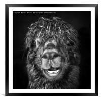 Alpaca. Happy Dayz, Framed Mounted Print