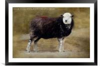 Herdwick sheep, Framed Mounted Print