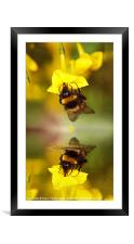 Bee on a Jasmine, Framed Mounted Print