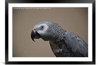 African Grey Parrot, Framed Mounted Print