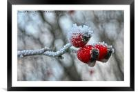 Snow Capped Rose Hip, Framed Mounted Print