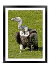 Cape Griffon Vulture, Framed Mounted Print