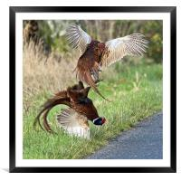 Cock pheasants fighting, Framed Mounted Print