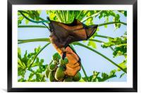 How the bat flies, Framed Mounted Print