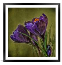 Canvas of Purple Crocus, Framed Mounted Print