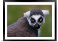 Ring-Tailed Lemur, Framed Mounted Print