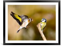 Goldfinch and Bluetit, Framed Mounted Print