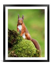 Red Squirrel, Framed Mounted Print
