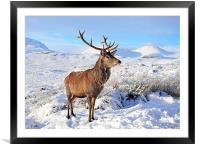 Deer Stag in snow, Framed Mounted Print