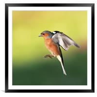 Chaffinch in flight, Framed Mounted Print