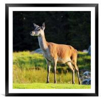Deer, Framed Mounted Print