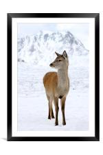 Red Deer, Framed Mounted Print