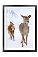 Red Deer portrait , Framed Mounted Print