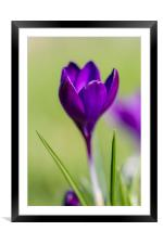 The Lone Crocus, Framed Mounted Print