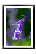 Isolated Bluebell, Framed Mounted Print