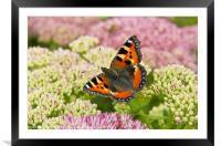 Tortoiseshell Butterfly, Framed Mounted Print