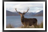 Royal Red Deer Stag in Winter, Framed Mounted Print