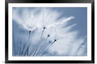 Dusty Blue Dandelion Clock and Water Droplets, Framed Mounted Print