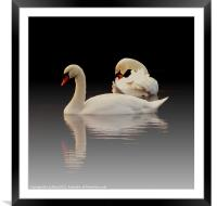 Beautiful Swans, Framed Mounted Print
