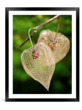 Physalis, Framed Mounted Print
