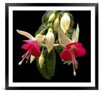 Fuchsia, Framed Mounted Print