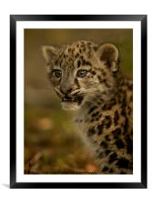 Snow Leopard Cub, Framed Mounted Print