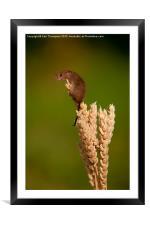 Harvest Mouse 2, Framed Mounted Print