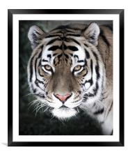 The Eyes Of The Tiger, Framed Mounted Print