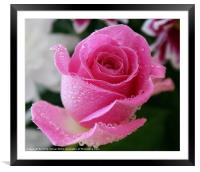 Pink Rose in The Rain, Framed Mounted Print