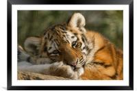 Amur Tiger Cub, Framed Mounted Print