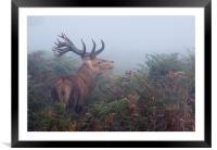 Red Deer Stag , Framed Mounted Print