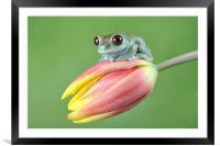 Ruby Eye tree frog, Framed Mounted Print