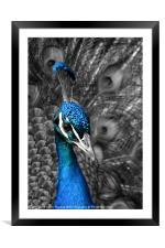 Blue Peacock, Framed Mounted Print
