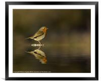 Reflecting Robin (Erithacus rubecula), Framed Mounted Print